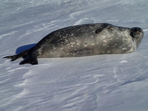 Weddell seal.