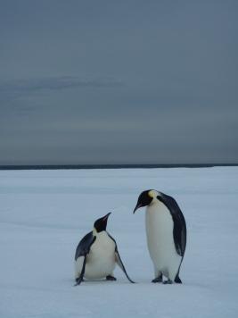 Emperor penguins. Photo credit: grantee event B-174