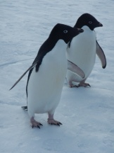 Adelie penguins. Photo credit: grantee event B-174