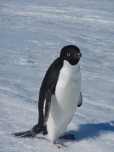 Adelie penguin. Photo credit: grantee event B-174