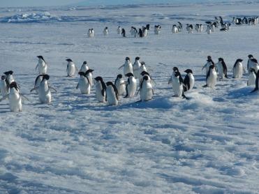 Roaming Adelia penguins. Photo credit: grantee event B-174