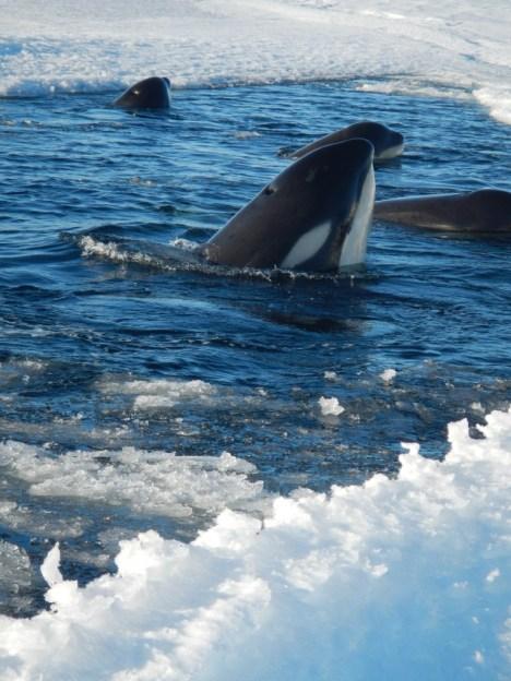 Orca by sea ice edge. Photo credit: grantee event B-174