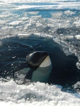 Orca. Photo credit: grantee event B-174