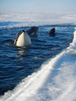 Spyhopping Orcas. Photo credit: grantee event B-174