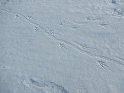 Penguin tracks. Photo credit: grantee event B-174