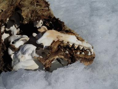 Mummified Crabeater seal.