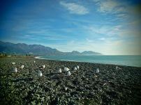 Seagulls enjoying the scenery with us a black pebble beach in Kaikoura, New Zealand.