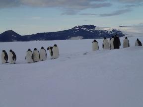 Emperor penguins.