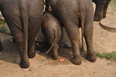 Baby elephant butt. Elephant Nature Park, Thailand.