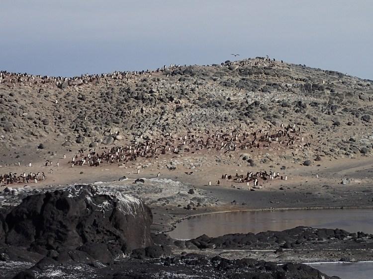 A cape of penguins.