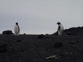 Adelies penguins.
