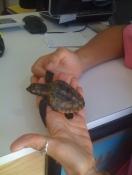 Rescued turtle at Turtle Sanctuary.