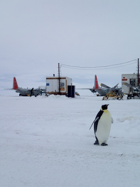 Emperor penguin at the airfield.