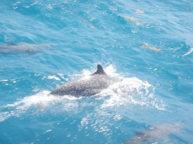 Dolphins love to ride the wake of a sailboat.