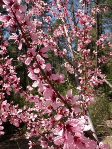 Cherry blossoms in Arizona.