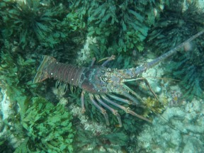 The large and beautiful lobster and the marine sanctuary in the Bahamas.
