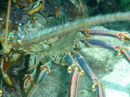 Curious lobster. His antennae feeling the camera.
