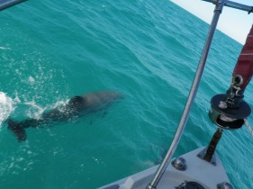Dolphins swimming along with our sailboat.