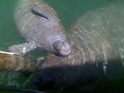 Manatees in Boot Key Harbor.